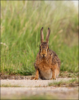 BROWN HARE1